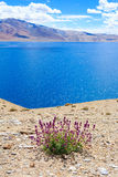 Purple flowers on the shore of mountain lake. Stock Photo