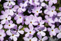 Purple Flowers. Small purple flowers lit by the sun Stock Photography