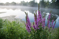 Purple flowers. On smoky lake Royalty Free Stock Image