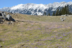 Purple flowers and snowy mountains Stock Photography