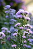 Purple flowers with soft background Stock Images