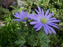 Purple flowers of spring anemone royalty free stock image