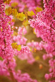 Purple flowers in spring Royalty Free Stock Image