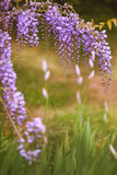 purple flowers in spring Stock Photography