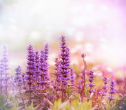Purple flowers in spring Royalty Free Stock Photo
