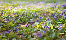 Purple flowers in spring Stock Photos