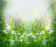 Purple flowers in spring lit by the sun Stock Photos