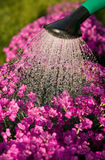 Purple flowers and sprinkler. There are purple flowers and sprinkler with water Stock Photo
