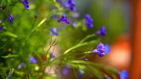 Purple flowers stand on a shelf in clay pots.  stock video footage