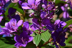 Purple flowers. In the summer Royalty Free Stock Image