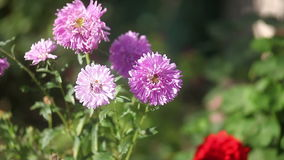 Purple flowers in the  summer close-up bee stock footage