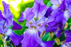 Purple flowers in the sun royalty free stock image