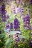 Purple flowers in sunny garden Stock Images