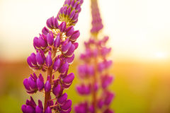 Purple flowers at sunset Royalty Free Stock Image