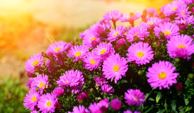 Purple flowers with sunshines. Detail of purple flowers in garden with sunshines on background Royalty Free Stock Image