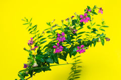 Purple flowers in Surat Thani Thailand Stock Images