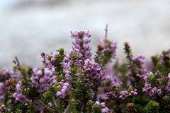 Purple flowers for text. Purple medicinal flowers picture for text royalty free stock images