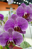 Purple flowers. Three purple orchid,three purple flowers Royalty Free Stock Photo
