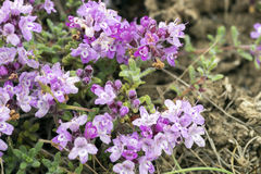 Purple flowers of thyme Crimean . Stock Images