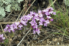 Purple flowers of thyme Crimean . Royalty Free Stock Images