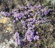 Purple flowers of thyme Crimean . Royalty Free Stock Image