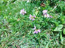 Purple Flowers. Tiny purple flowers against green grass stock photography