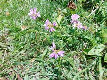 Purple Flowers. Tiny purple flowers against green grass stock images