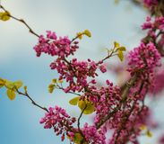 Purple flowers on tree Royalty Free Stock Photo
