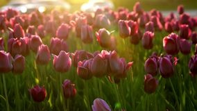 Purple flowers tulips on the city flowerbed swaying from light wind. The rays of the setting sun beautifully illuminate the flower. S. Close-up stock footage