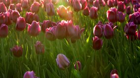 Purple flowers tulips on the city flowerbed swaying from light wind. The rays of the setting sun beautifully illuminate the flower. S. Close-up stock video footage