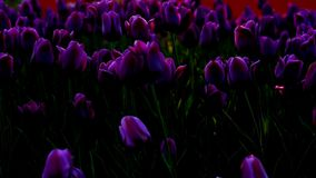 Purple flowers tulips on the city flowerbed swaying from light wind. The rays of the setting sun beautifully illuminate the flower. S. Close-up stock video