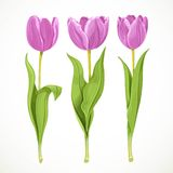 Purple flowers tulips isolated on a white background Royalty Free Stock Image