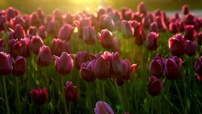 Purple flowers tulips swaying gently from a weak wind. The rays of the setting sun beautifully illuminate the flowers. Close-up stock footage