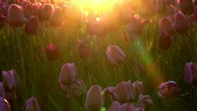Purple flowers tulips swaying gently from a weak wind. The rays of the setting sun beautifully illuminate the flowers. Close-up stock video