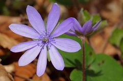 Mountain Purple flowers - Hepatica transsilvanica. Spring background Royalty Free Stock Photography