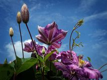 Purple Flowers Under Cloudy Sky in Worms Eye View Photography royalty free stock image