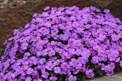 Purple Flowers. In Vasile Fati Botanical Garden Jibou, Salaj county, Romania Stock Photo