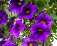 Purple Flowers. And vibrant a green leaves in a hanging basket royalty free stock image