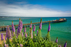 Purple flowers and view of the pier in Capitola  Stock Photo