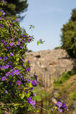 Purple Flowers on Vines in Pompeii Royalty Free Stock Photo