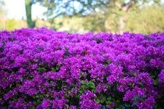 Purple flowers violet flores purpura violetas 50 megapixels picture royalty free stock photography