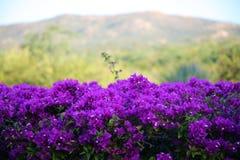 Purple flowers violet flores purpura violetas 50 megapixels picture. Background photo Royalty Free Stock Image