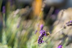 Purple flowers with wasp royalty free stock photography