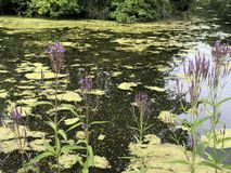 Purple flowers on the water royalty free stock photos