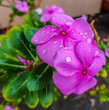 Purple flowers with water drops. Stock Images