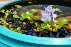 Purple flowers of water hyacinth In the green bath,Eichhornia cr. AssipesCommon water hyacinth Stock Image