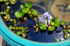 Purple flowers of water hyacinth In the green bath,Eichhornia cr. AssipesCommon water hyacinth Stock Images