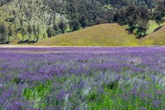 Purple flowers on the way to mt. Semeru summit at. Stock Photography