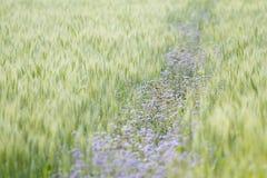 Purple flowers in wheat field Royalty Free Stock Photo