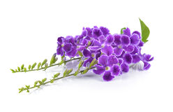 Purple flowers on white background Stock Photos